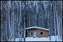 Cabin amongst bare aspen trees. Alaska, USA (color)