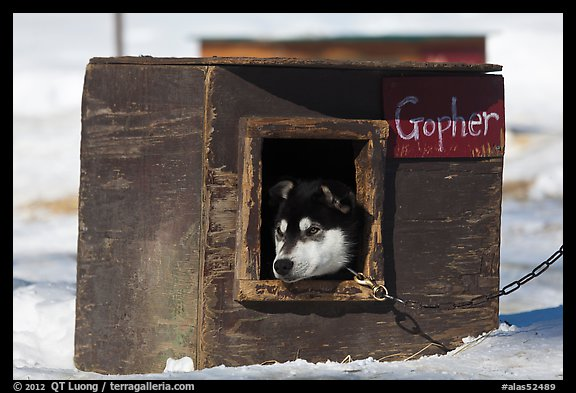 Husky dog peeking out of doghouse. North Pole, Alaska, USA (color)