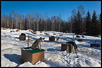 Dogs at mushing camp in winter. North Pole, Alaska, USA (color)