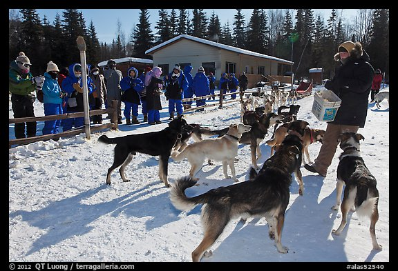 Musher feeding dogs. Chena Hot Springs, Alaska, USA (color)