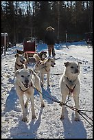 Sled dogs. Chena Hot Springs, Alaska, USA ( color)