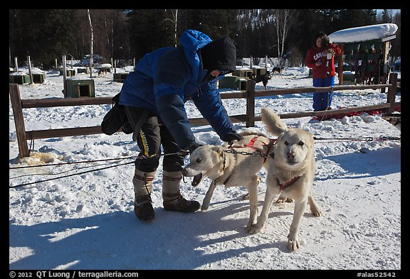 Musher attaching dogs. Chena Hot Springs, Alaska, USA (color)