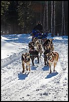 Dog mushing team on forest trail. Chena Hot Springs, Alaska, USA ( color)