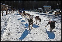 Sleg dog team pulling hard. Chena Hot Springs, Alaska, USA ( color)