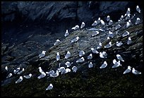 Seabirds on rock. Prince William Sound, Alaska, USA ( color)