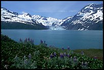 Lupine, mountains, and glaciers across Harriman Fjord. Prince William Sound, Alaska, USA