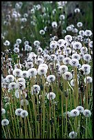 Dandelion seeds. Alaska, USA ( color)