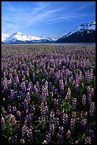 Lupine patch and mountains near Portage. Alaska, USA (color)