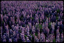 Dense lupine patch. Alaska, USA (color)