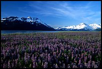 Lupine and snowy mountains near Portage. Alaska, USA