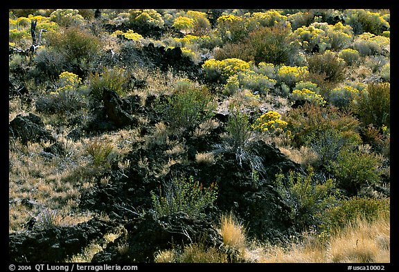 Yellow sage flowers and lava, Lava Beds National Monument. California, USA (color)