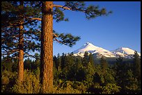Pines and Mt Shasta seen from the North, late afteroon. California, USA ( color)