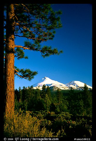 Pines and Mt Shasta seen from the North, late afteroon. California, USA (color)
