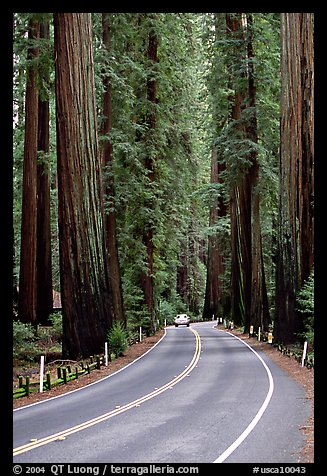 Car on road amongst tall redwood trees, Richardson Grove State Park. California, USA