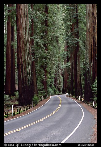 Curved road amongst tall redwood trees, Richardson Grove State Park. California, USA (color)