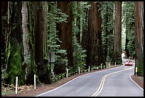 Car on road in redwood forest, Richardson Grove State Park. California, USA (color)