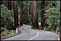 Curving road in redwood forest, Richardson Grove State Park. California, USA (color)