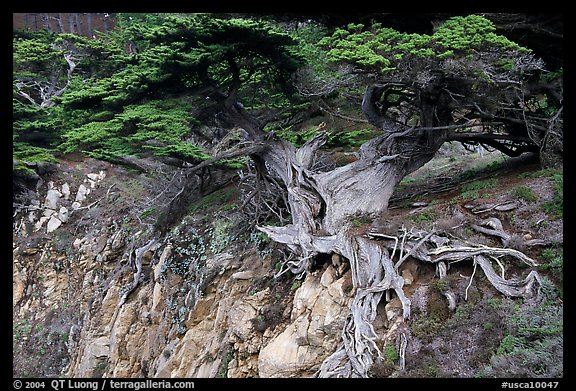 Old Veteran Cypress. Point Lobos State Preserve, California, USA (color)