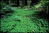 Forest floor covered with trilium. California, USA
