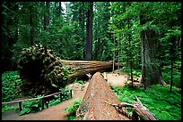 Fallen Redwoods trees, Humbolt State Park. California, USA ( color)