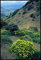 Bright yellow flowers and hikers in the background, Mt Diablo State Park. California, USA
