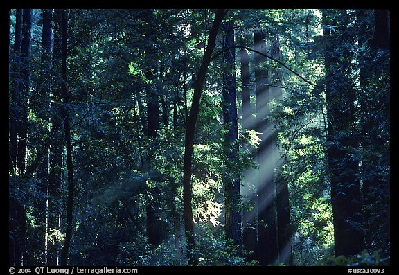 Sunrays in forest. Muir Woods National Monument, California, USA (color)