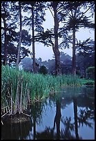 Pond, reeds, and pine trees. San Francisco, California, USA