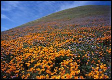 California Poppies, purple flowers,  and hill. Antelope Valley, California, USA (color)