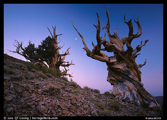 Old Bristlecone Pine trees and moon at sunset, Discovery Trail, Schulman Grove. California, USA (color)