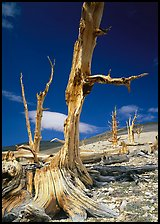 Dead standing Bristlecone pine trees,  White Mountains. California, USA