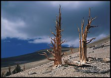 Dead Bristlecone pines on barren slopes with storm clouds, White Mountains. California, USA (color)