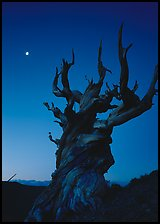 Gnarled Bristlecone Pine tree and moon at sunset, Schulman Grove. California, USA