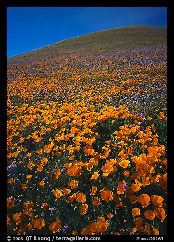 California Poppies and hill. California, USA (color)