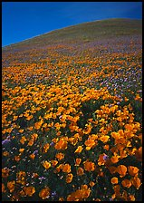 California Poppies and hill. Antelope Valley, California, USA (color)