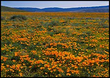 California Poppies and goldfields. Antelope Valley, California, USA (color)