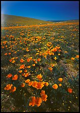 Bright orange California Poppies, hills W of the Preserve. Antelope Valley, California, USA