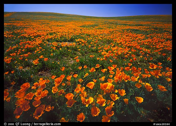 Field of bright orange California Poppies. Antelope Valley, California, USA