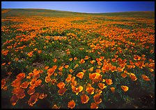 Carpet of California Poppies. California, USA ( color)
