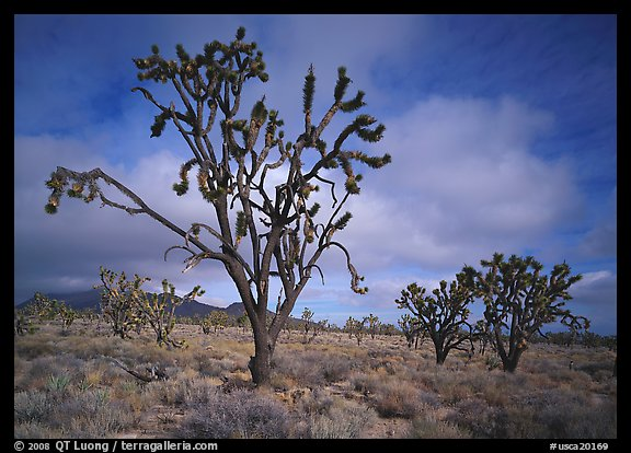 Joshua Trees. California, USA (color)