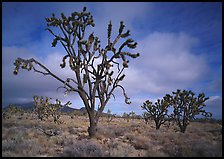Joshua Trees. Mojave National Preserve, California, USA (color)