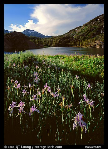 Irises and lake. California, USA (color)