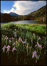 Irises and lake. California, USA