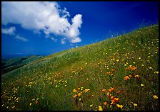 Hillside with wildflowers and cloud, Russian Ridge. California, USA ( color)