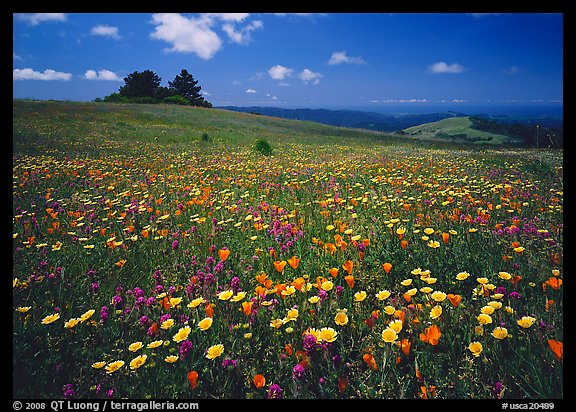Wildflower carpet and tree cluster, Russian Ridge. California, USA (color)