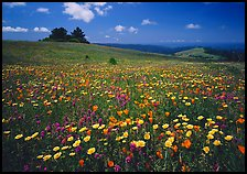 Wildflower carpet and tree cluster, Russian Ridge. Palo Alto,  California, USA