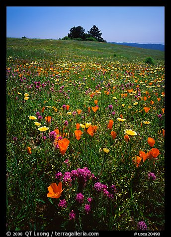 Meadows covered with wildflowers in the spring, Russian Ridge Open Space Preserve. Palo Alto,  California, USA (color)