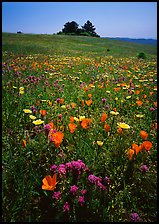 Meadows covered with wildflowers in the spring, Russian Ridge Open Space Preserve. Palo Alto,  California, USA
