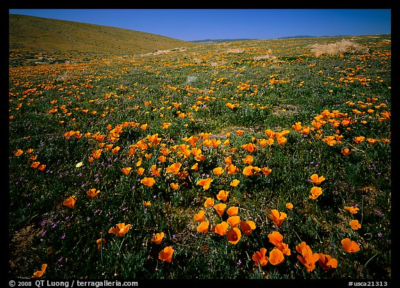 California Poppies, hills W of the Preserve. Antelope Valley, California, USA (color)