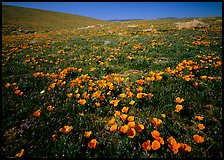 California Poppies, hills W of the Preserve. Antelope Valley, California, USA