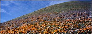 Hill covered with California poppies. Antelope Valley, California, USA (Panoramic color)